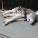 Tierdummies SFX Toter Hund / Wolf / Filmwolf