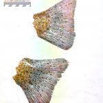 Exponat Museum Ausstellung /Forellen Flossen aus Silikon